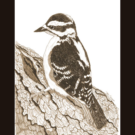drawing of Downy Woodpecker