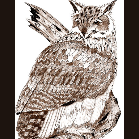 drawing of Eurasian Eagle Owl