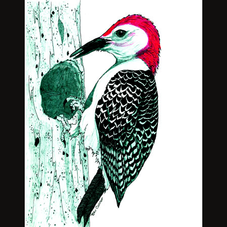 drawing of Red-Bellied Woodpecker