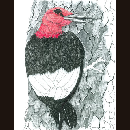 drawing of Red-Headed Woodpecker