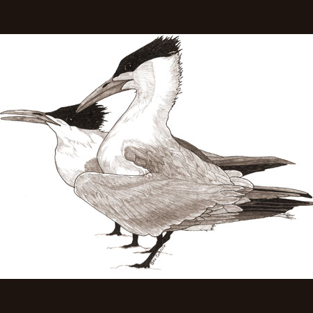 drawing of Royal Terns
