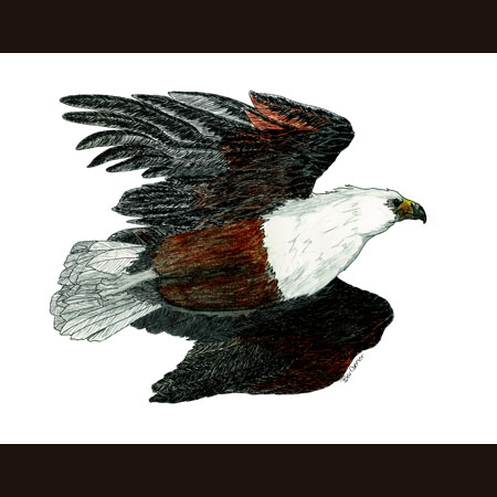 drawing of Northern African Fishing Eagle