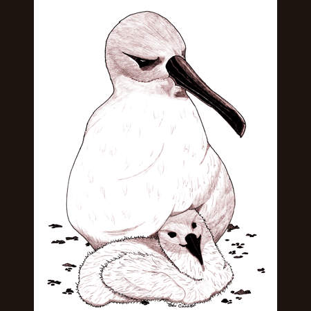 drawing of Albatross