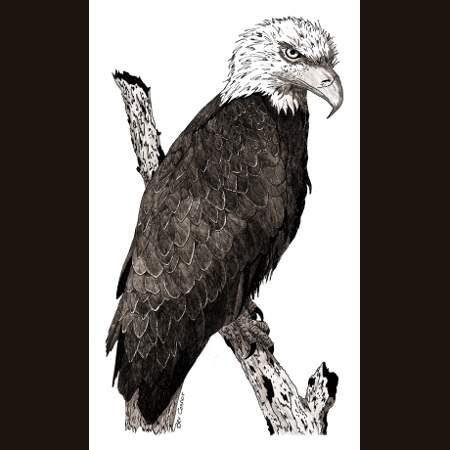 drawing of Bald Eagle