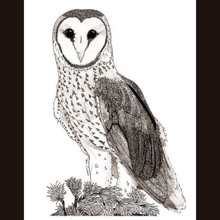 drawing of Barn Owl