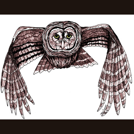 drawing of Barred Owl