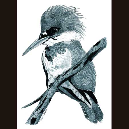 drawing of Belted Kingfisher