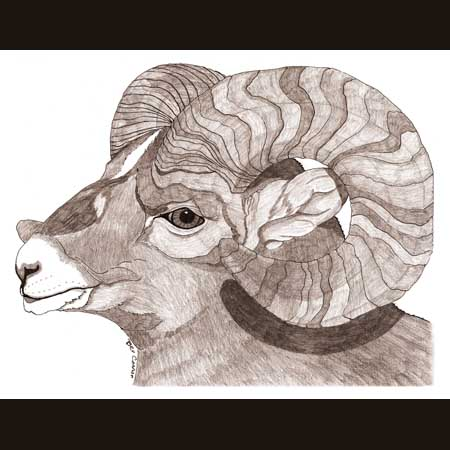 drawing of Bighorn Sheep