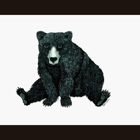 drawing of Black Bear
