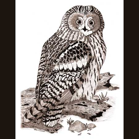 drawing of Burrowing Owl