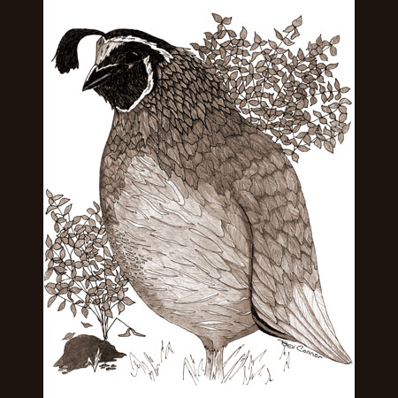drawing of California Quail