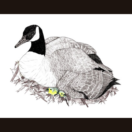 drawing of Canada Goose with Chicks