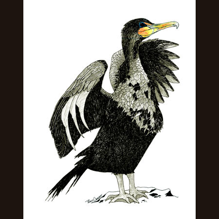 drawing of Cormorant