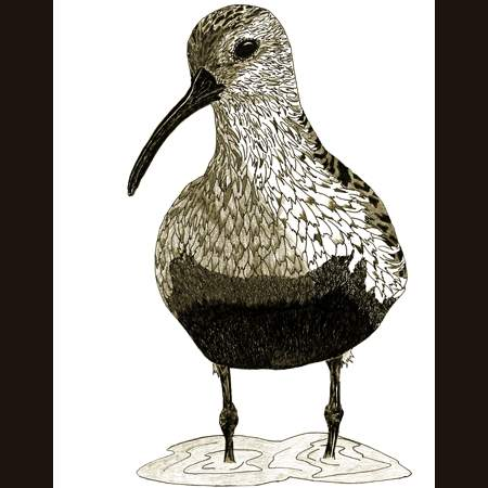 drawing of Dunlin
