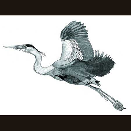 drawing of Great Blue Heron