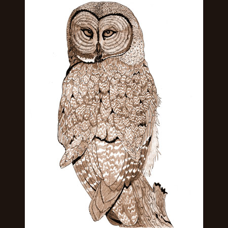 drawing of Great Gray Owl / Great Grey Owl