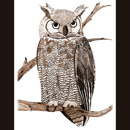 drawing of Great Horned Owl