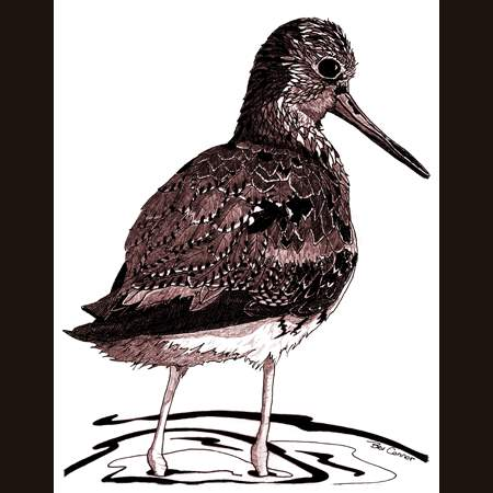 drawing of Greater Yellowlegs