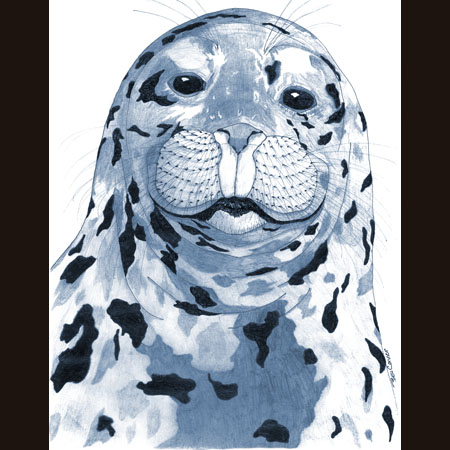 drawing of Harbor Seal