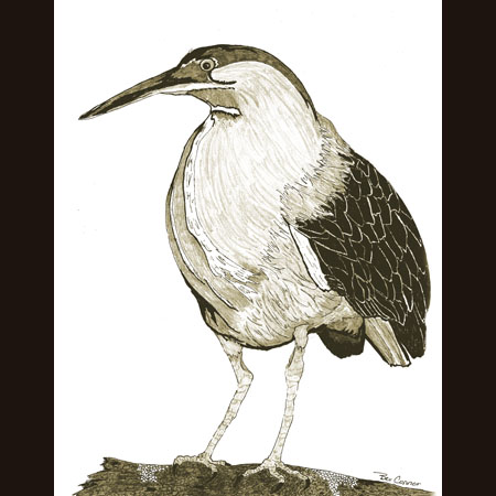 drawing of Little Green Heron