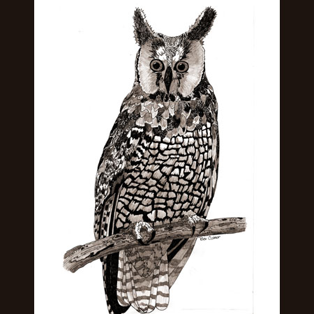 drawing of Long-Eared Owl