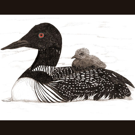 drawing of Common Loon