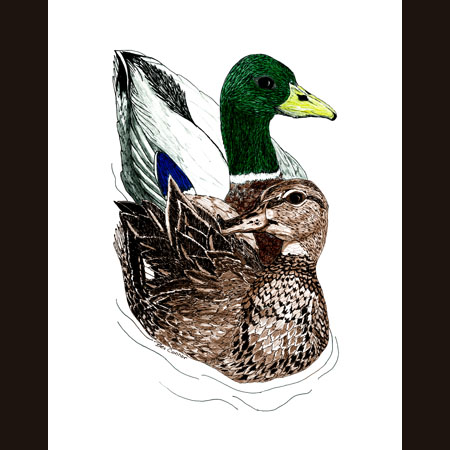 drawing of Pair of Mallards