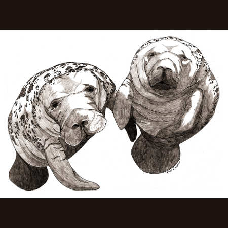 drawing of Manatees