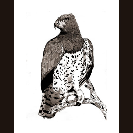 drawing of Martial Eagle