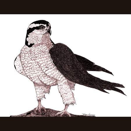 drawing of Northern Goshawk