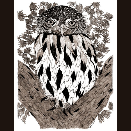 drawing of Northern Pygmy Owl