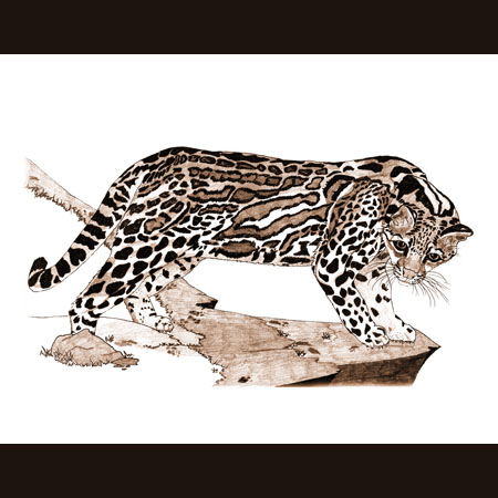 drawing of Ocelot