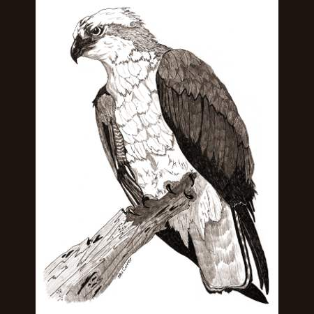 drawing of Osprey