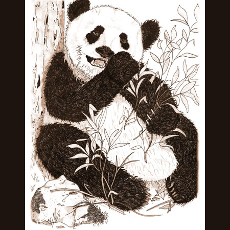 drawing of Panda