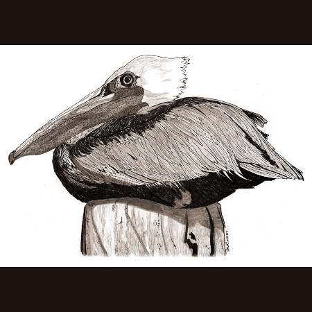 drawing of Brown Pelican