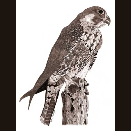 drawing of Peregrine Falcon