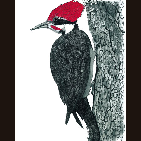 drawing of Pileated Woodpecker