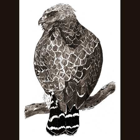 drawing of Red Shouldered Hawk