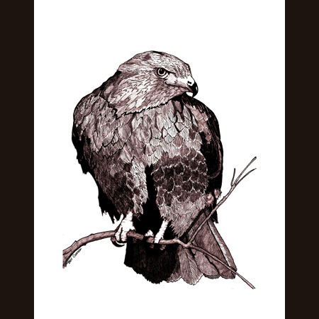 drawing of Red-Tailed Hawk