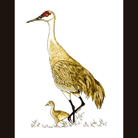 drawing of Sandhill Cranes