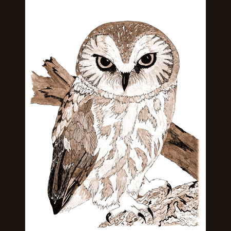 drawing of Northern Saw-Whet Owl