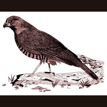 drawing of Sharp-Shinned Hawk