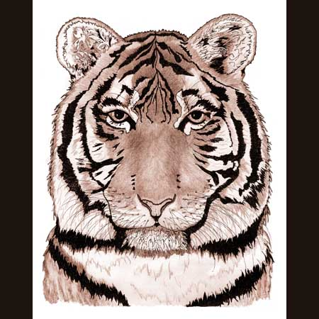 drawing of Siberian Tiger