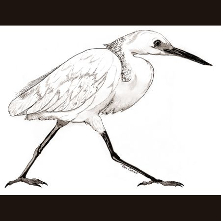drawing of Snowy Egret