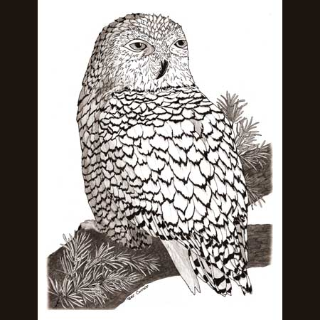drawing of Snowy Owl