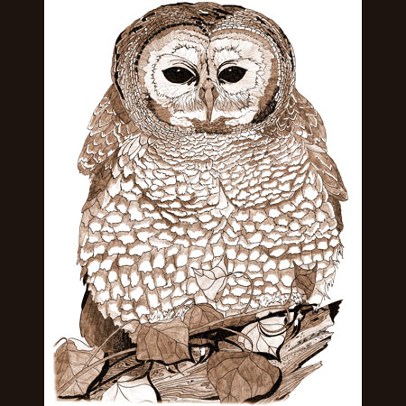 drawing of Spotted Owl