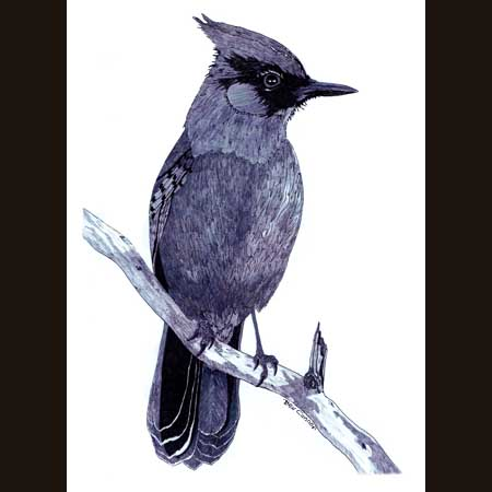 drawing of Stellers Jay
