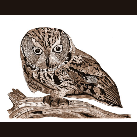 drawing of Western Screech-Owl