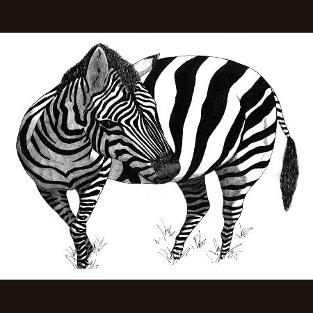 drawing of Zebra